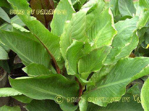 Pflanze Mit Großen Blättern blumenrohr stauden